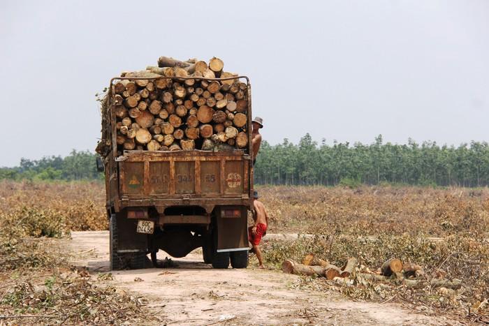 Dự án sân bay Long Thành: Hối hả cưa, cắt rừng cao su để bàn giao mặt bằng